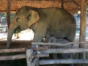 お母さん象のおっぱいを飲んでいる小象くん