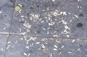 地面にもヒマワリの種がいっぱい!