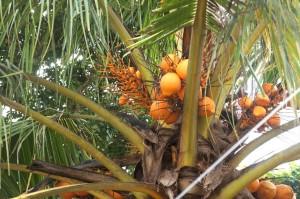 オレンジ色が鮮やかなココナッツの実。