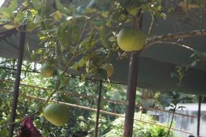 ザボン。ベトナム料理の定番サラダによく使われる柑橘系の果物。